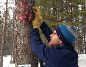 Carnivore monitoring